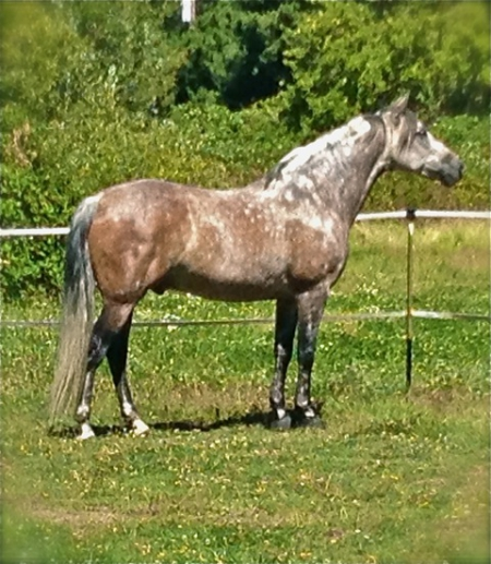 SOLDIER, Andalusian Gelding in Oregon | North American