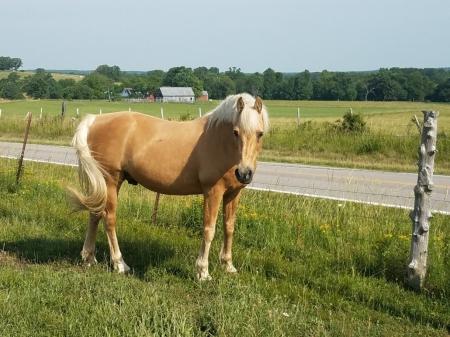 Springtown Sundance, Morgan Stallion for sale in Missouri