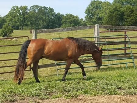 Greenleaf Aladin, Morab Gelding for sale in Missouri