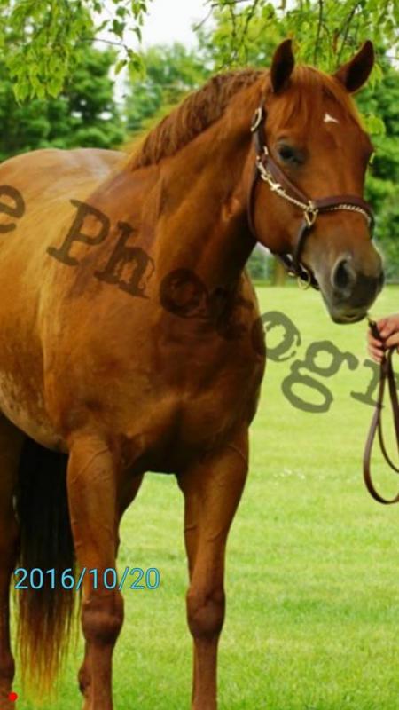 Good N Plenty Karen, American Quarter Horse Mare in
