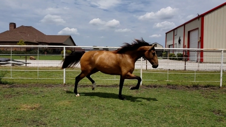 Imperatriz Caniceira, Lusitano Mare for sale in Texas