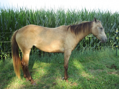 Free Horse- Beautiful Champagne Quarter Horse Filly (Ember