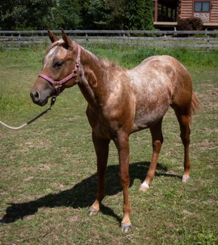 Peptosigns Nugget, Appaloosa Filly for sale in Wisconsin