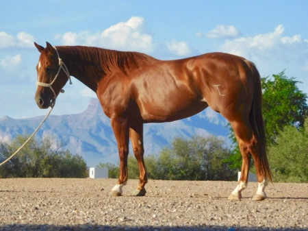 HIGHSCHOOL SWEETHART - Well Broke, Super Gentle, Started Heeling, Classy mare, American Quarter Horse Mare for sale in Arizona