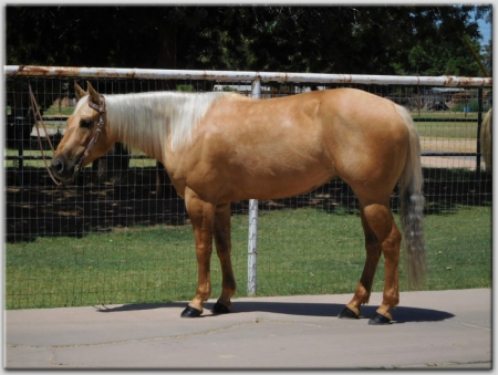 Just Short Enough Super Gentle, safe mare., American Quarter Horse Mare for sale in Arizona