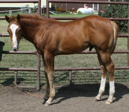 Identified, Appaloosa Colt in North Dakota | Tennessee