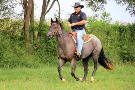 APACHE BLUE BADGER (, American Quarter Horse Gelding for sale in Kentucky