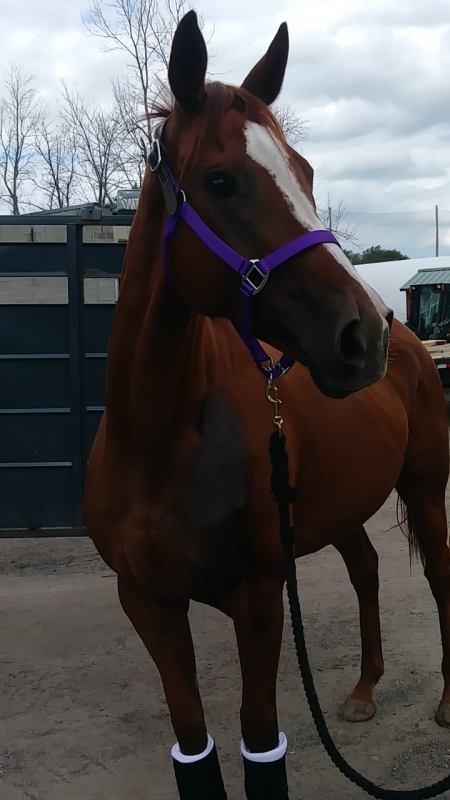 KARMA, Thoroughbred Mare for sale in New York