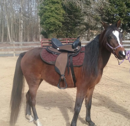 Love Is Bliss, Arabian Mare for sale in Maryland