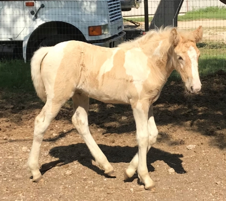 Shyz So Sassy, Spotted Saddle Filly for sale in Texas