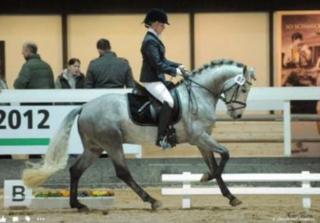 Premium Elegant German Riding Pony Gelding for everyone, Ponies Gelding for sale in Texas