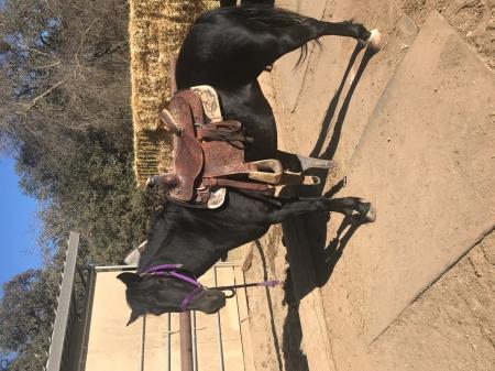 Blackie, Quarter Pony Mare for sale in California