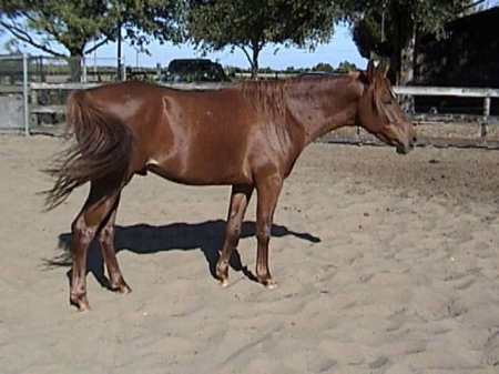 Yamiee, Arabian Gelding for sale in Florida