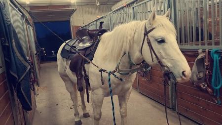 Ringo, Quarter Horse Cross Gelding for sale in Wisconsin
