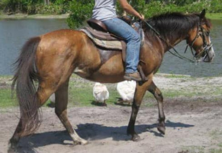 Sale/Trade, Pinto Mare for sale in Florida