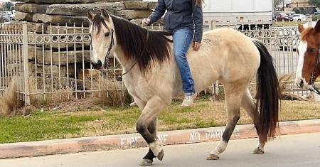 Tegas, Quarter Horse Cross Gelding for sale in Oklahoma