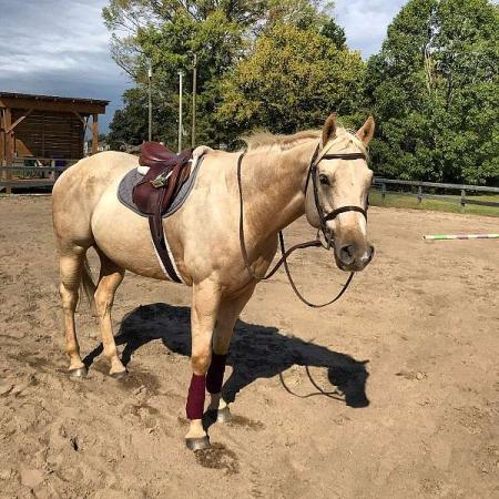 Zephyr, American Quarter Horse Gelding for sale in Georgia