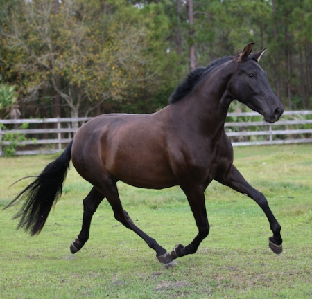 Mariposa del Sol, Andalusian Mare for sale in Florida