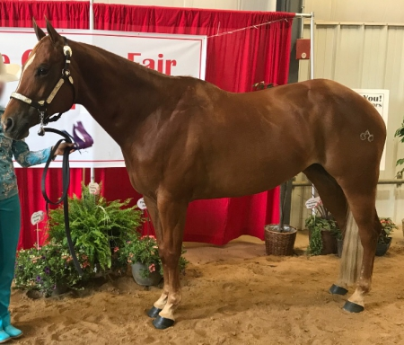 Sheza Touch Early (Sadie), American Quarter Horse Mare for sale in Wisconsin