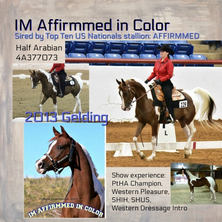 Im Affirmmed In Color, Half-Arabian Gelding in Texas