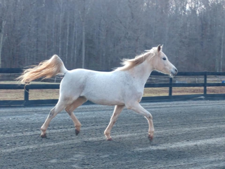 Mayhems Jezebelle, Arabian Mare for sale in Virginia