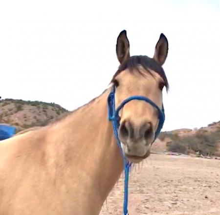 Jasmine, Buckskin Mare for sale in Arizona