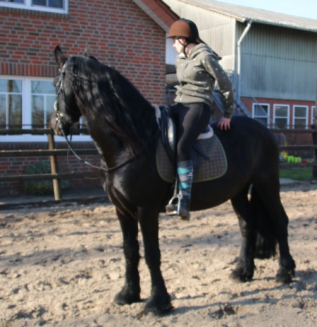 Wybrick , European Arabo Friesian Studbook Stallion for sale in Florida