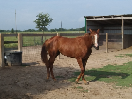 Duns N Roses, American Paint Horse Association Mare for sale in Texas