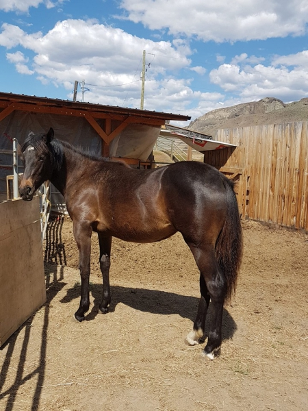 Skys Gold BBgirl, Appaloosa Filly for sale in British Columbia