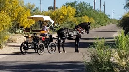 Phoebe, Missouri Fox Trotting Horse Mare for sale in Arizona