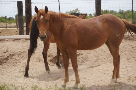 Red Hot Sol Cat, American Quarter Horse Filly for sale in Arizona