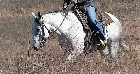 Napoleon, American Quarter Horse Gelding for sale in Texas