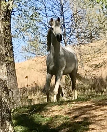 Naturally TSantana, Arabian Gelding in Alabama | Appaloosa Horses