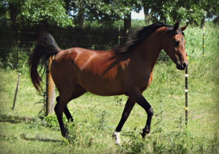 MS Flawless Vallah, Arabian Mare for sale in Minnesota