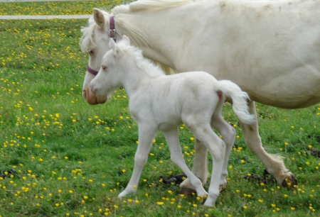 WORLD CHAMPION BLOODLINES ~ MINIATURE HORSE ~ MINI HORSE ~ AMHA/AMHR ~ BLUE-EYED ~ REFINED, Miniature Colt for sale in New York