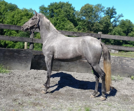 Belle Elegante OSF, Andalusian Mare for sale in Pennsylvania