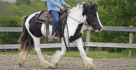 Kinngn, Gypsy Vanner Stallion for sale in Texas