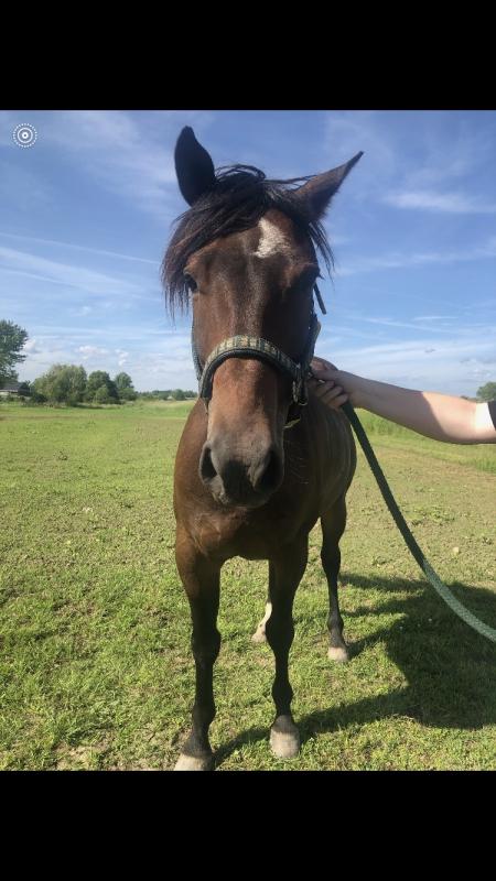 Finn, American Quarter Horse Gelding for sale in New York