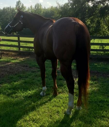 KIDDINS SECRET, American Quarter Horse Stallion for sale in Alabama