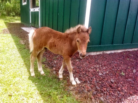 Koa, Ponies Colt for sale in Hawaii