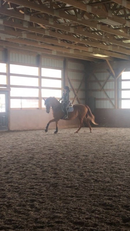 Future Diva, Canadian Horse Mare for sale in Vermont