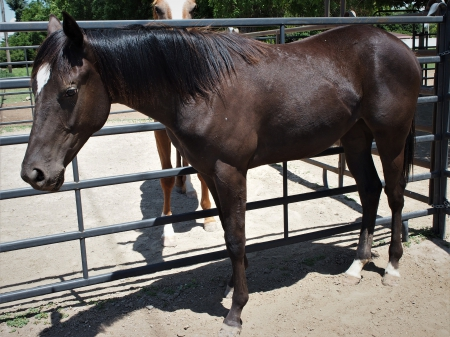 Painted Prize, Appaloosa Filly for sale in Idaho