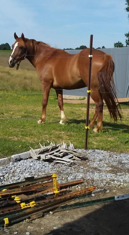 Easy B, Quarab Mare for sale in Kentucky