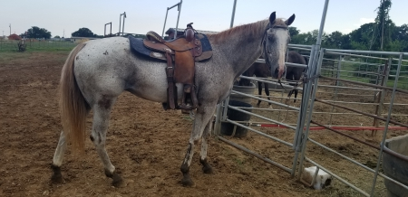 Feather, American Quarter Horse Mare for sale in Texas
