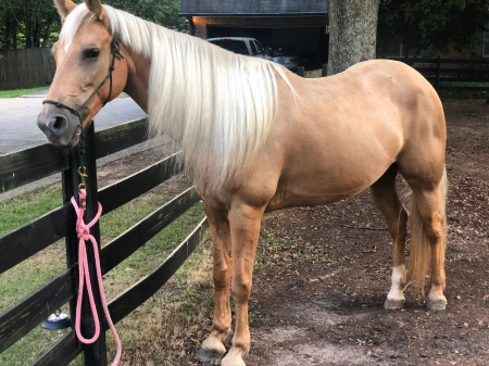 Brooklyn, Tennessee Walking Horses Mare for sale in Georgia