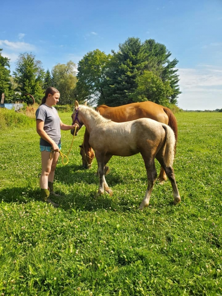 Luna, Gypsy Vanner Filly for sale in Pennsylvania