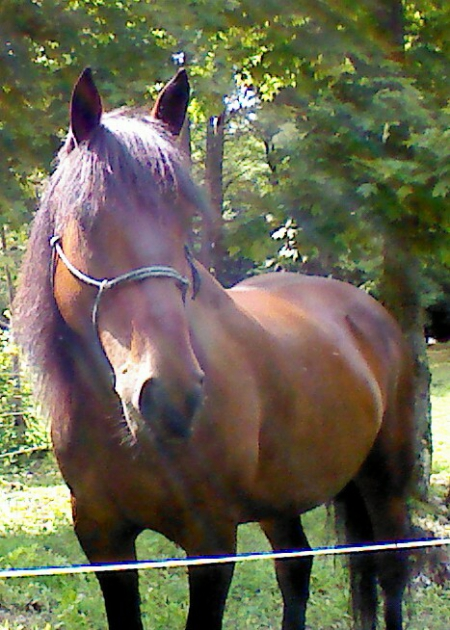 Marty, Canadian Horse Mare for sale in New York