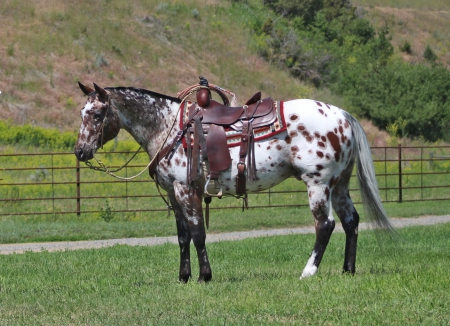 Docs On a High, Appaloosa Gelding for sale in Montana