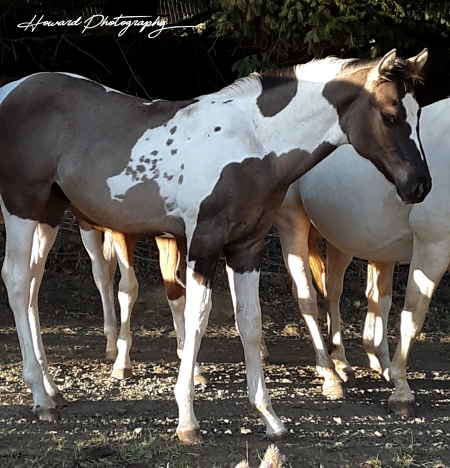 AngelDanceBoldyNorth, American Paint Horse Association Colt for sale in Oregon
