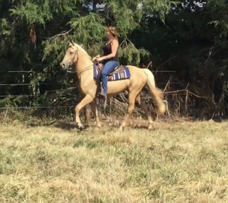 Miner, Tennessee Walking Horses Gelding for sale in Virginia